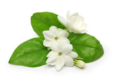 Arabian jasmine,  jasmine tea flower. Arabian jasmine, jasminum sambac, flower and leaves, jasmine tea flower isolated on white background Stock Photography