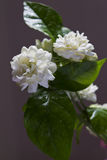 Arabian jasmine and white flower Stock Photography
