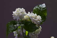 Arabian jasmine and white flower Stock Images