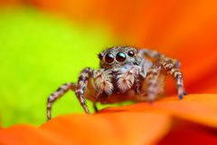 Arabian jumping spider close up Stock Images