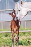 Arabian little foal with mom Royalty Free Stock Photos