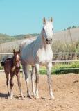 Arabian little foal with mom in paddock. Israel Royalty Free Stock Photo