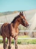 Arabian little foal in paddock. Israel Stock Photos