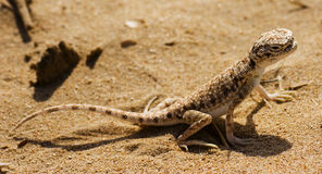 Arabian lizard. An endangered specie of a lizzard that can be found in the arabian deserts Stock Photos