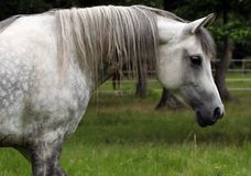 Arabian Mare. Profile of an Arabian Mare with neck arched Stock Photography
