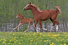 Arabian Mare and Filly Stock Image
