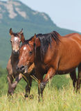 Arabian mare and foal Stock Photo