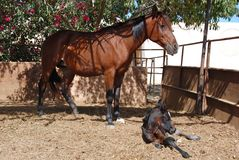 Arabian mare and foal Royalty Free Stock Photo