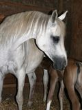 Arabian mare and foal. Arabian mare with new born foal nursing in stall Royalty Free Stock Photos