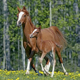 Arabian Mare with Foal Royalty Free Stock Photography
