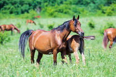 Arabian mare with foal in field in summer Stock Photos
