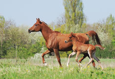 Arabian mare and foal running on pasture stock image