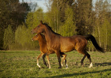 Arabian mare and foal runs free summer Stock Photos