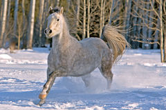 Arabian Mare galloping Stock Photo