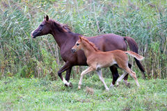 Arabian mare and her foal galloping on pasture Stock Image