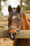 Horse. Arabian horse mare looking at the camera with her head over a wooden fence rail Royalty Free Stock Photo