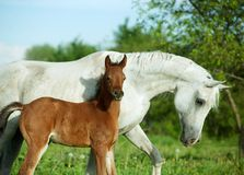 Arabian mare and newborn foal portrait Stock Photo