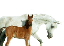 Arabian mare and newborn foal portrait isolated on white Stock Images
