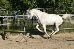 Arabian mare ready to jump. White Arabian horse (mare) running free and ready to jump stock images