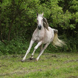 Arabian mare running in front of green background Stock Photos
