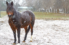 Arabian mare in snow Stock Photos