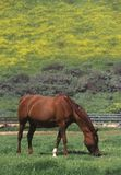 Arabian mare, Spring field, Ojai, CA Royalty Free Stock Image