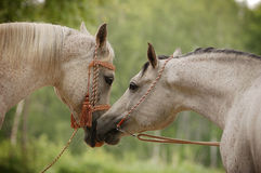 Arabian mare and stallion Royalty Free Stock Images