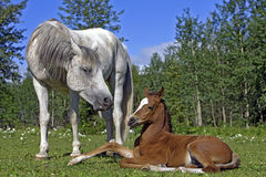 Arabian mare watching Foal Royalty Free Stock Image