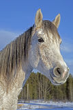 Arabian Mare Royalty Free Stock Images