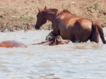 Arabian mares in the lake at liberty. Stock Photos