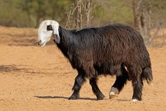 Arabian Nadji sheep of the Arabian Peninsula Stock Photo