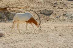Arabian onyx Stock Image