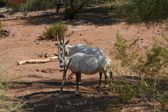 Arabian Oryx. Two Arabian Oryx grazing in clearing Stock Image
