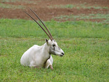 Arabian oryx adult showing off huge horns. Arabian oryx adult showing huge horns royalty free stock photography