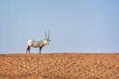 Arabian oryx, also called white oryx Oryx leucoryx in the desert near Dubai, UAE stock image