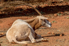 Arabian Oryx Royalty Free Stock Photography