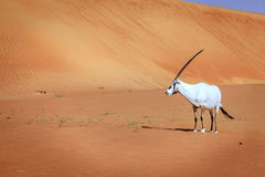 Arabian Oryx. Oryx or Arabian antelope in the Desert Conservaion Reserve near Dubai, UAE Royalty Free Stock Image