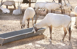Arabian Oryx biting a metallic food receptacle Stock Photo