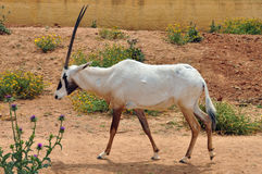Arabian oryx Stock Photos