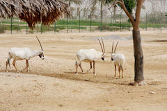 Arabian Oryx in desert Stock Photo