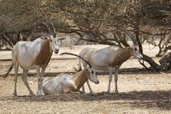 Arabian Oryx in the desert Stock Photos
