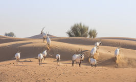 Arabian oryx in a desert near Dubai Royalty Free Stock Image