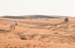 Arabian oryx in the desert after sunrise. Dubai, United Arab Emirates. Royalty Free Stock Photos