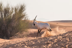 Arabian oryx in the desert after sunrise. Dubai, United Arab Emirates. Royalty Free Stock Image