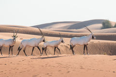 Arabian oryx in the desert after sunrise. Dubai, United Arab Emirates. Royalty Free Stock Photo