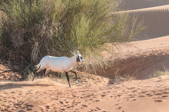 Arabian oryx in the desert after sunrise. Dubai, United Arab Emirates. Royalty Free Stock Photography
