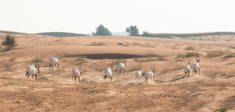 Arabian oryx in the desert after sunrise. Dubai, United Arab Emirates. Royalty Free Stock Images