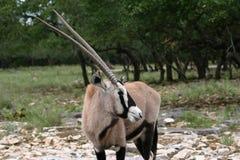 Arabian Oryx. An Arabian Oryx, or Gemsbok, grazes on the Serengeti Royalty Free Stock Photo