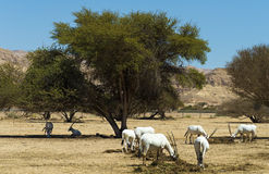 Free Arabian Oryx In Nature Reserve Stock Photos - 31711343