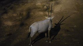 An Arabian oryx Oryx leucoryx critically endangered resident of the Arabian Gulf stands in the hot desert sand at night. Looking around in Al Ain, United Arab stock video footage